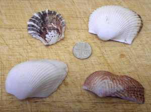 Seashells x 4 bivalves. Coastal, seaside, nautical, marine sealife, beach decor, ornament, collectors sea shells, crafts, jewellery supplies