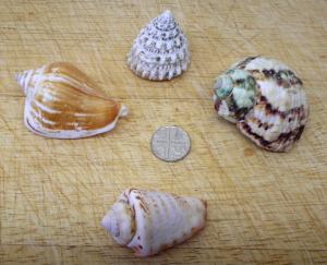 Seashells 4 x gastropod shells, fish tank ornaments, shell craft, beach, sealife, nautical marine, seaside decor. Ornaments. Cone Top Turbo