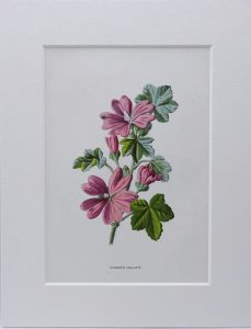 Victorian wildflower print ~ Common Mallow antique original illustration by F. Edward Hulme, from dis-bound book Familiar Wild Flowers 1890