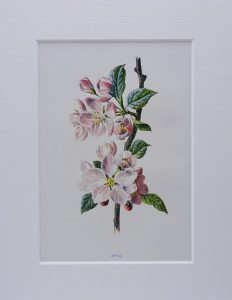 Victorian wildflower print ~ Apple, antique original illustration by F. Edward Hulme, from dis-bound book Familiar Wild Flowers c. 1890