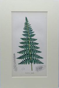 Victorian fern print, original hand coloured by John E. Sowerby, from dis-bound book The Ferns of Great Britain & The Fern Allies, 1869
