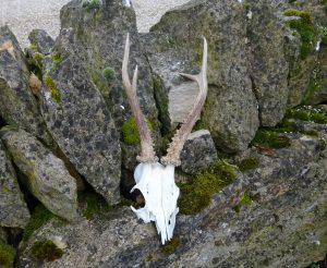 Vintage deer antlers, real roe deer antlers and part of skull, curiosity cabinet, Victoriana, zoological specimen, decorative display piece
